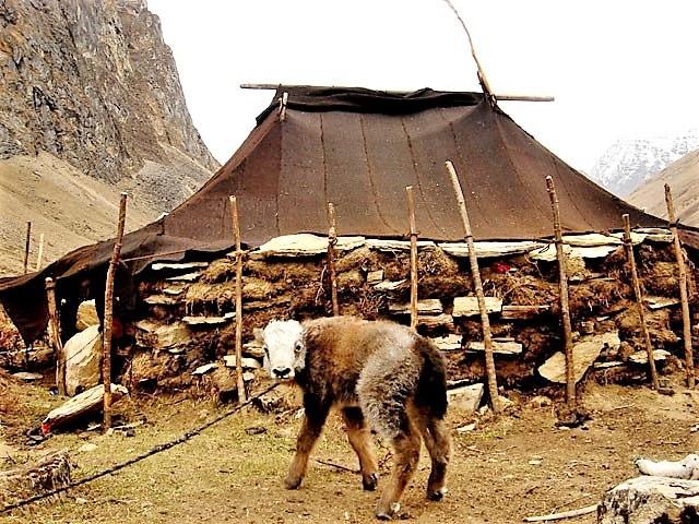 Bhutan Layab Yak Herder